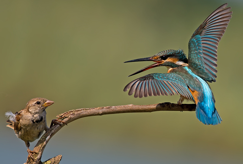 Common Kingfisher vs House Sparrow - incredible snaps