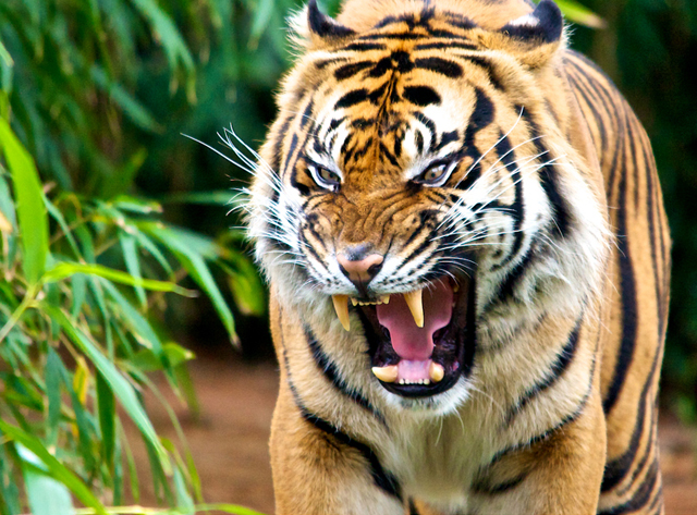 wild tiger pictures