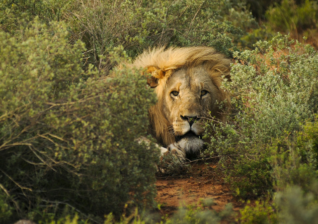 stunning and breathtaking pictures of lions