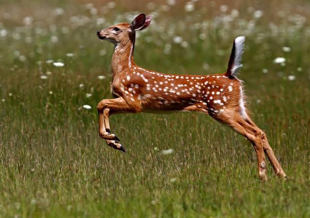 stunning deer running