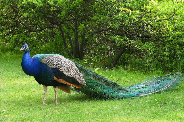 colorful and beautiful pictures of peacock
