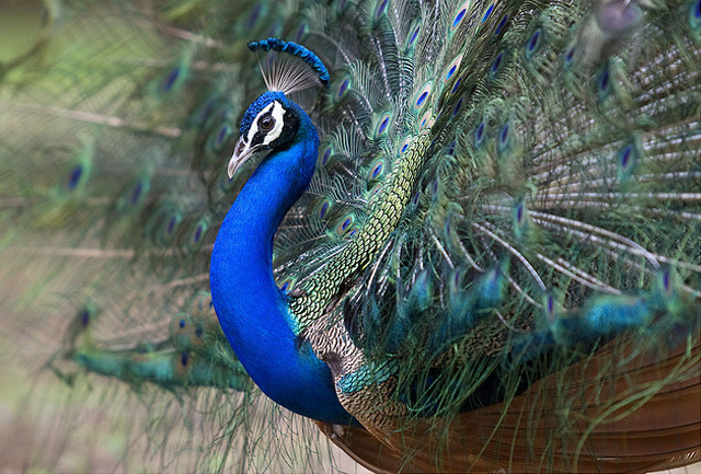 peacock wedding invitations and beautiful pictures of peacock