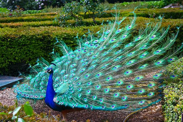 peacock dancing pics