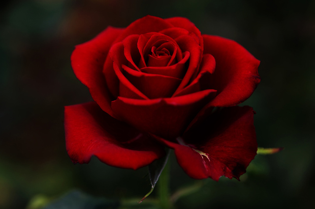Pictures of beautiful roses incredible snaps - Rosas rosas hermosas ...