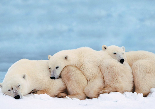 Great_Polar_Bears