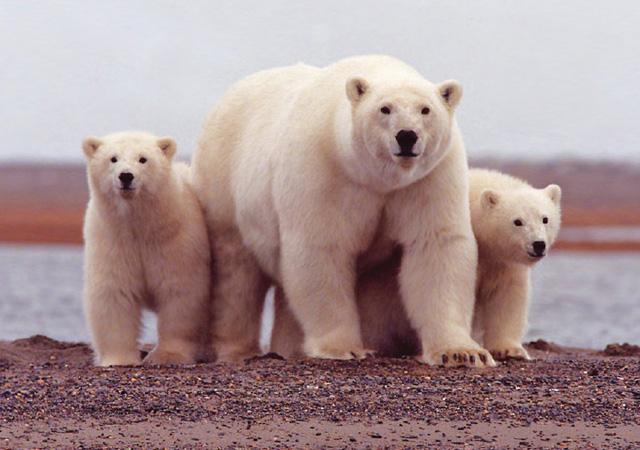 Polar-Bear-Female