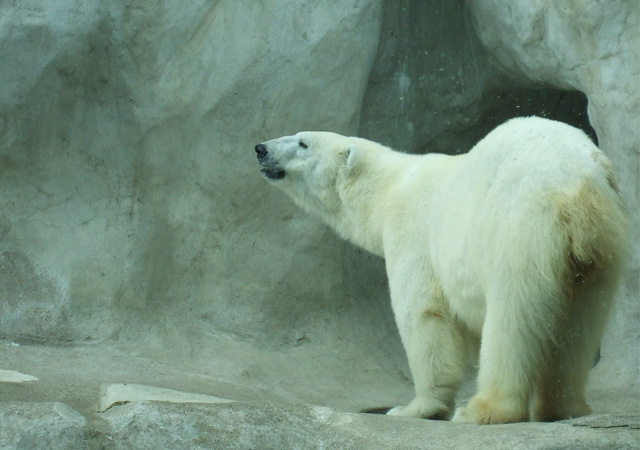 Polar_Bear_by_lindsayfabulous