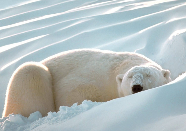 Sleeping_Beauty_Polar_Bear