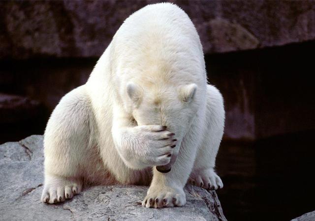 bear_pictures_Polar_Bear_Eye_Cover