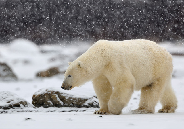 25 Beautiful Pictures Of Polar Bears