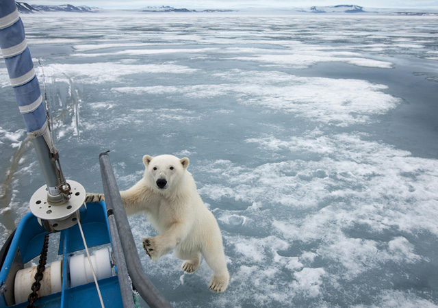 beautiful pictures of polar bears by Paul Souders