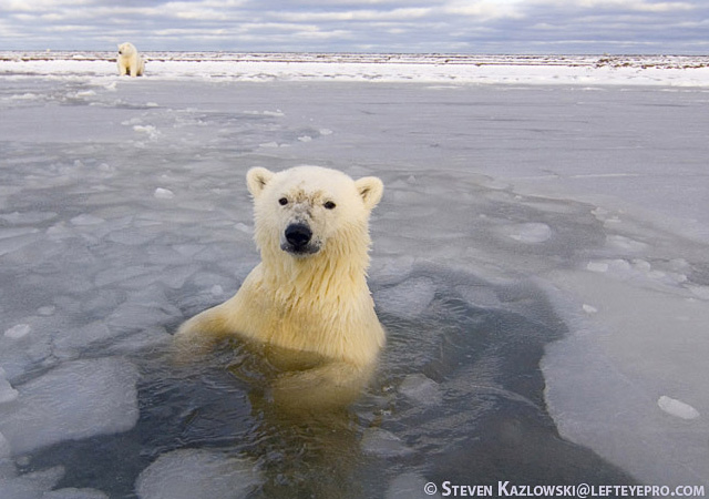 beautiful pictures of polar bears by Steve Kazlowski 1