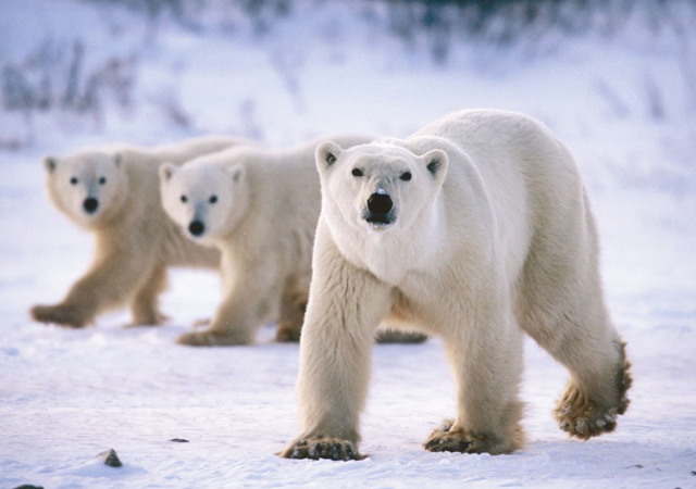 magnificent polar bears