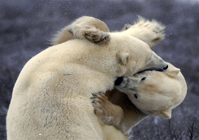 polar-bear-tussle