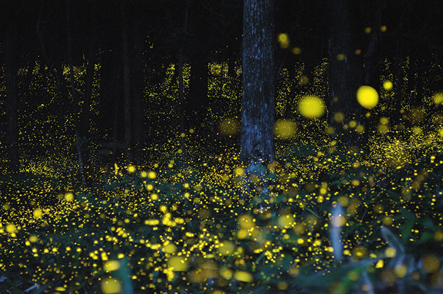stunning photos of golden fireflies in Japan