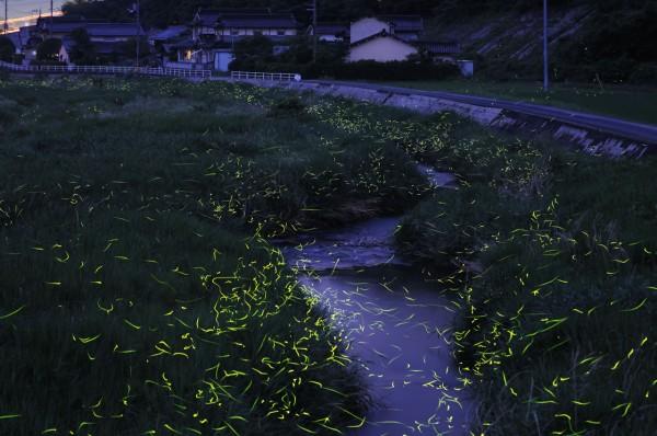 stunning photos of golden fireflies in Japan