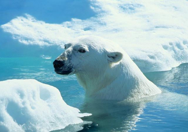 wager-bay-polar-bear