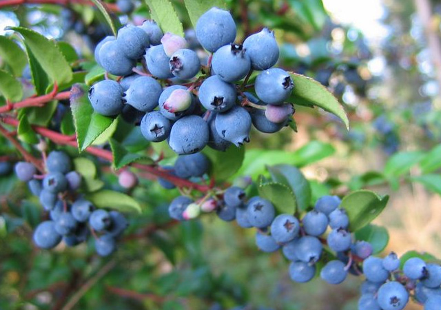 Huckleberries