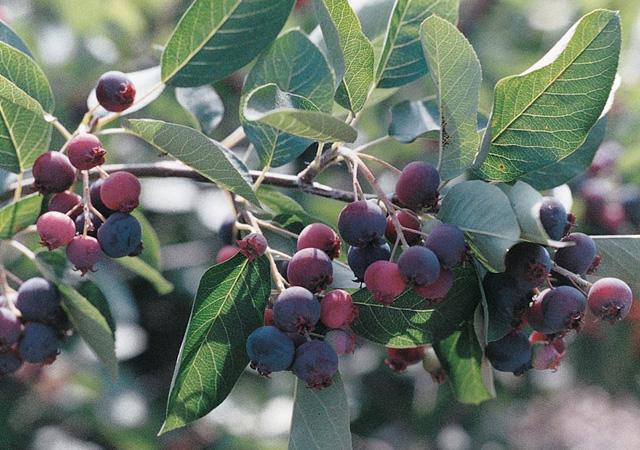 Juneberry