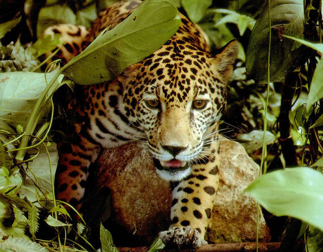 Amazon-rainforest-jaguar