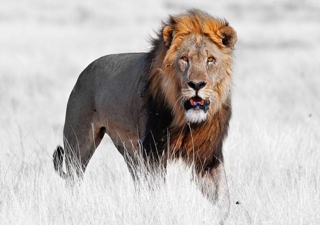 Gemsbokvlakte Lion by peter delaney