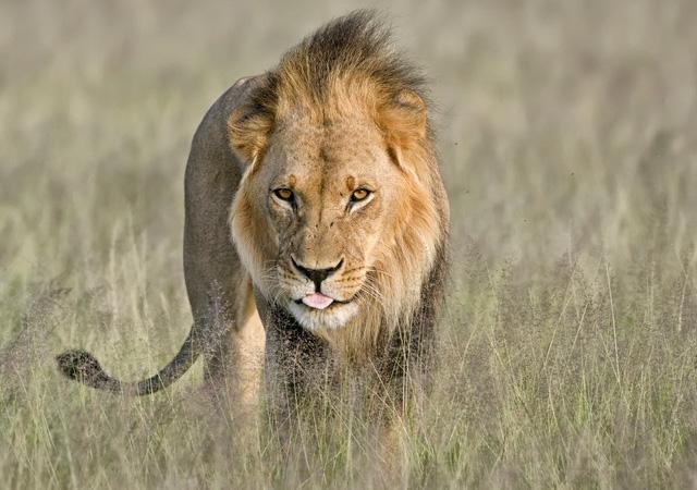 Kalahari Lion by Ken Watkins