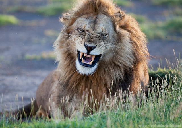 King of the pride by Stephan Brauchli