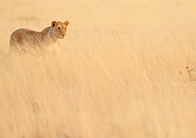 Lion - Panthera leo by Massimiliano Sticca