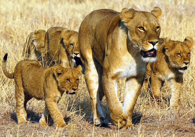 Lion family by Michael Poliza
