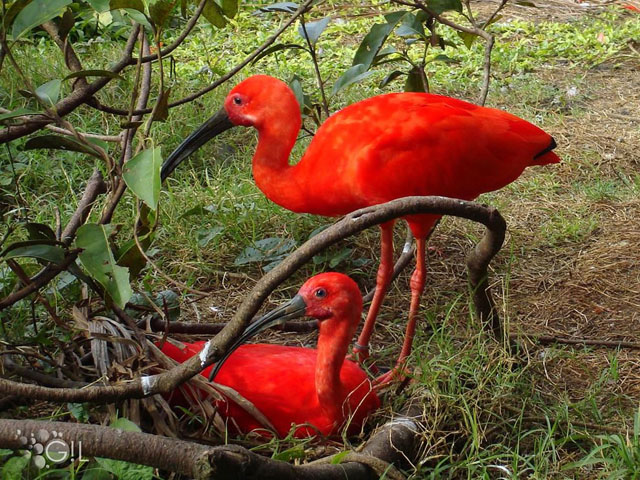 Tupi red bird