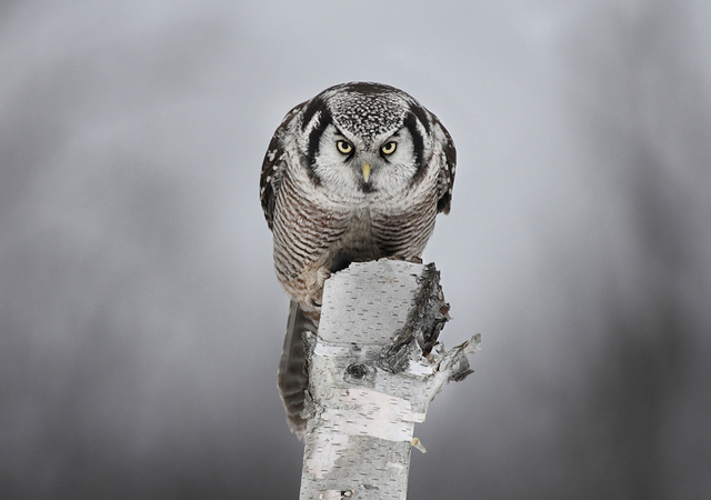 Staredown with a Hawk Owl by Jim Cumming