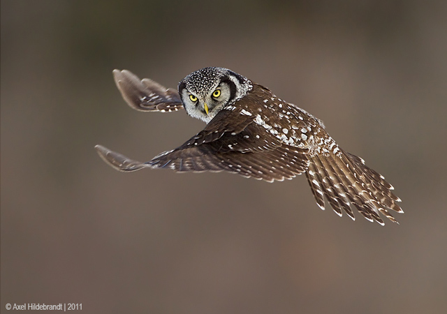 Northern Hawk Owl by Axel Hildebrandt