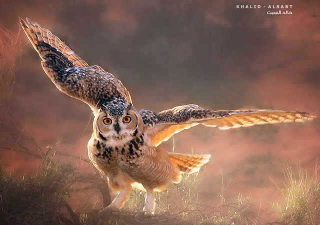 Eagle Owl - I by KHALID ALSABT