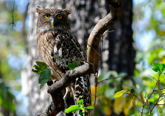 Brown Fish Owl by  Hermes S