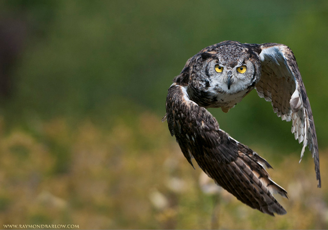 Great Horned Owl in Flight by Raymond Barlow