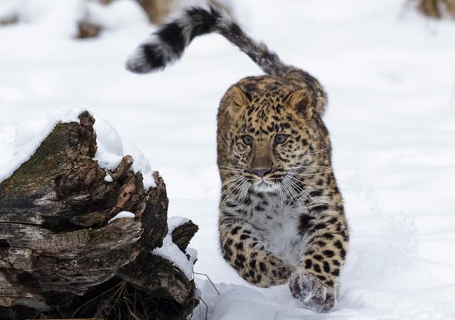 Armur Leopard by Regis Vincent