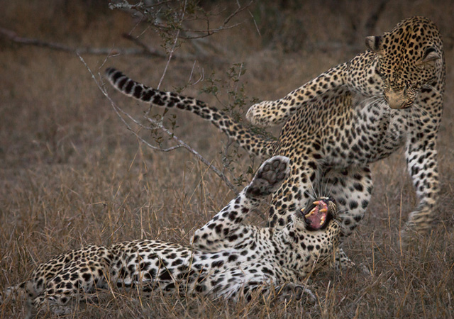 Cat Fight by Wim van den Heever