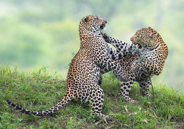 Dancing Leopards by Marlon du Toit