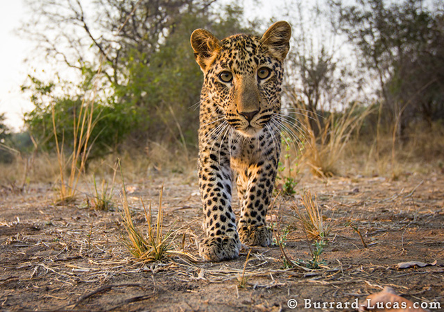 Inquisitive Cub by Will Burrard-Lucas