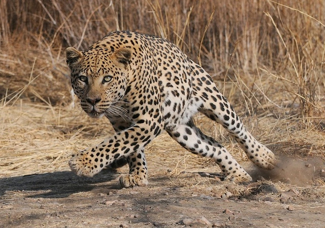 Leopard Action by Elmar Weiss