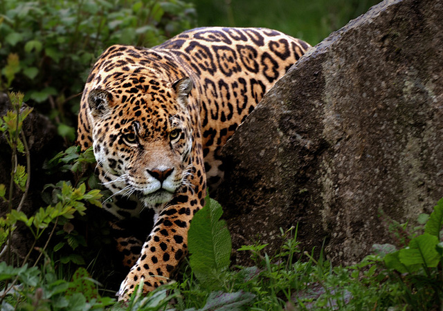 Leopard by Ronald Coulter