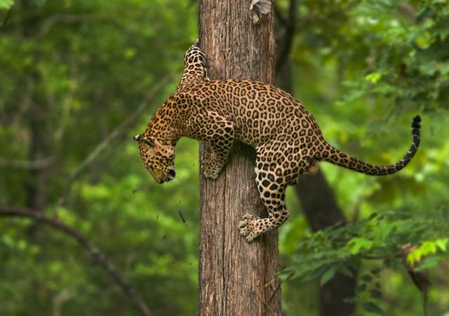 Leopard by Shaaz Jung