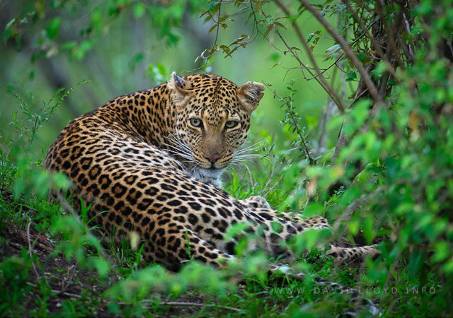 Mara Leopard by David Lloyd