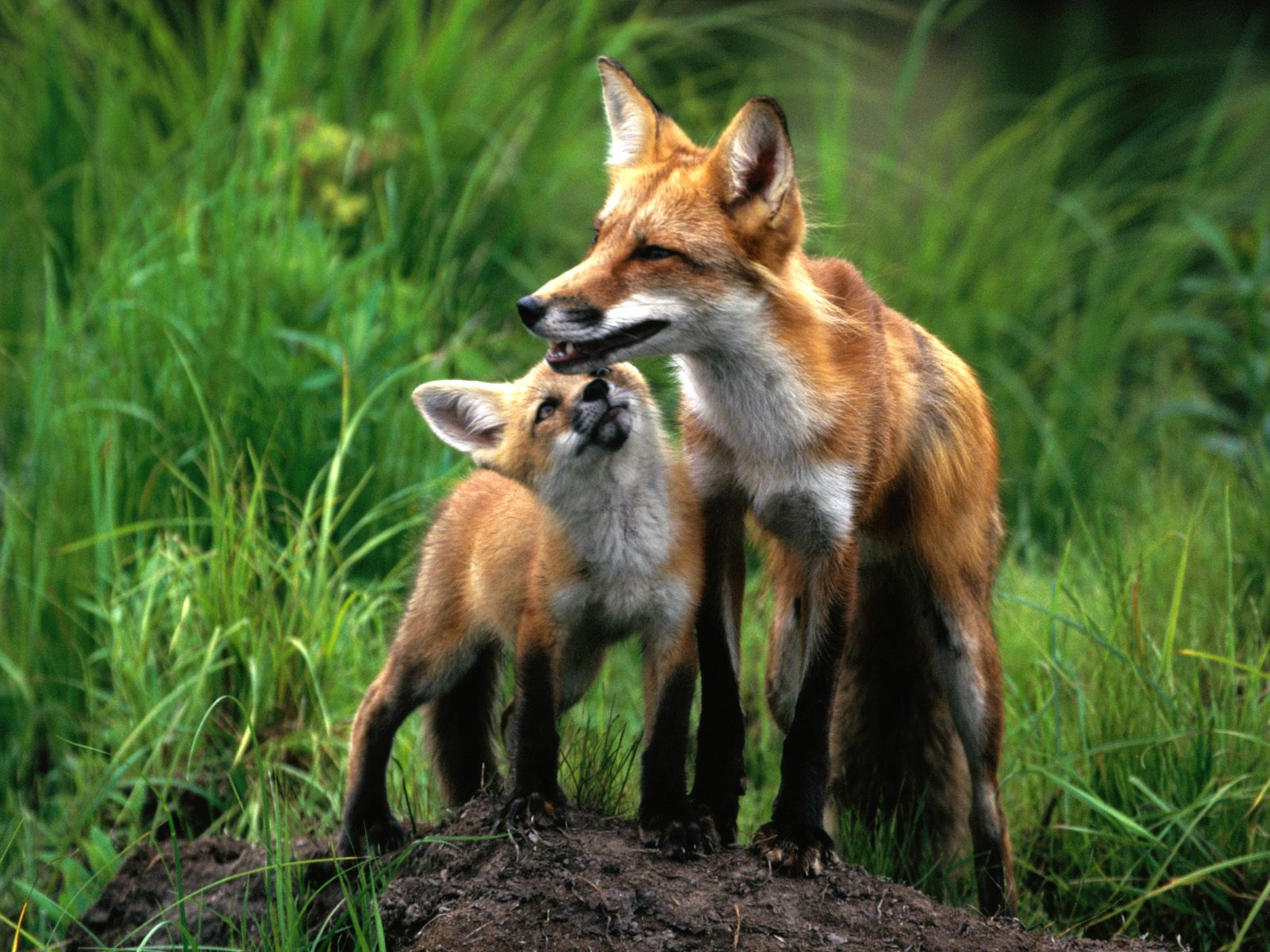 Cute And Beautiful Fox Pictures