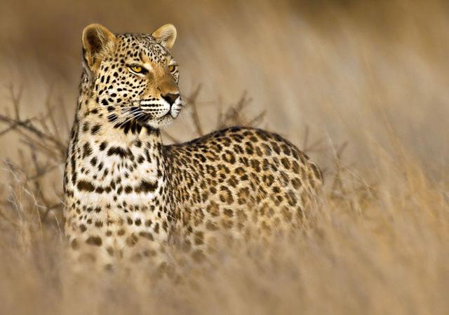 kalahari leopard by peter delaney