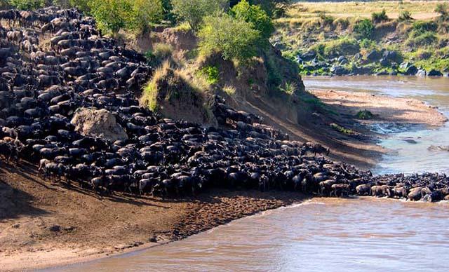 Wildebeest migration in the Maasai Mara and Serengeti