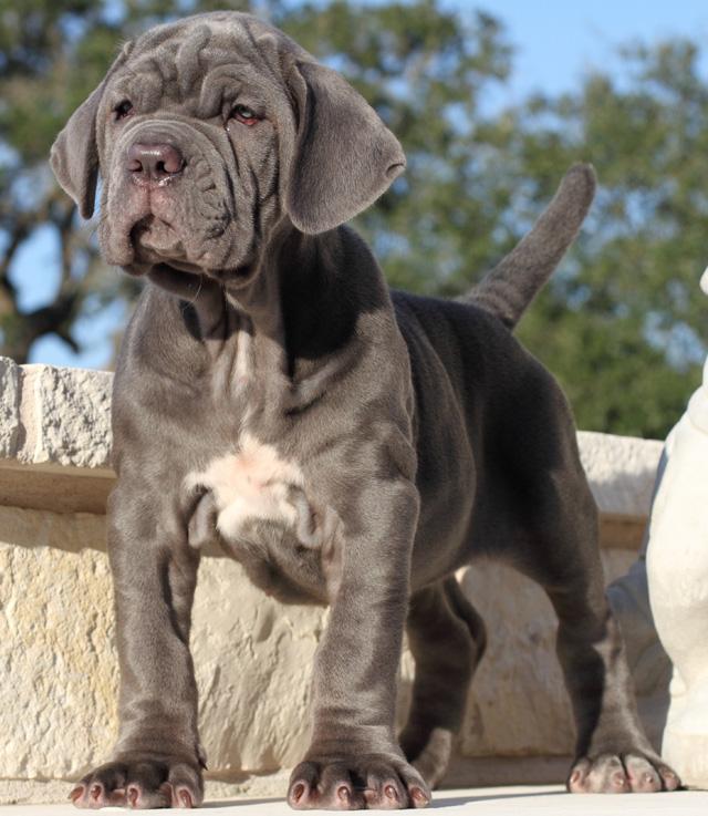 neapolitan-mastiff