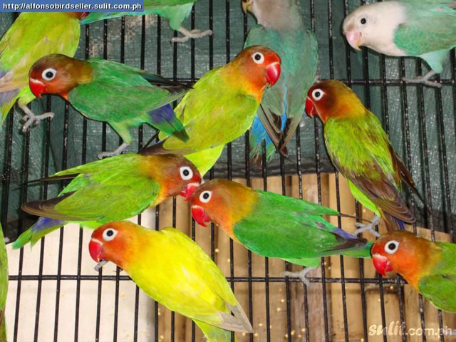 group of love birds pictures