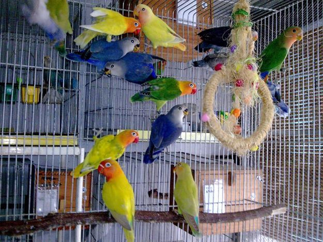 beautiful love birds in cage pictures