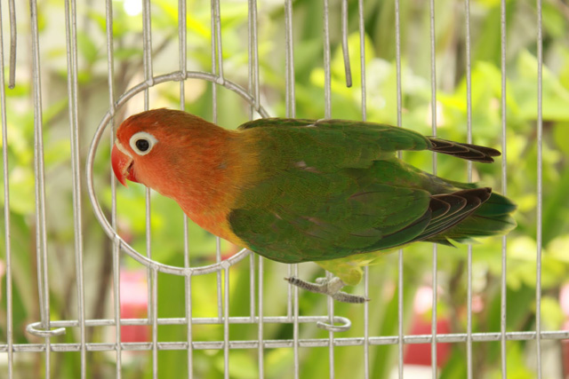 red headed love birds pictures